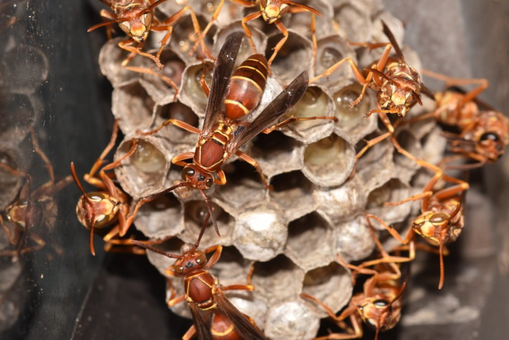 Image of Paper Wasp Group